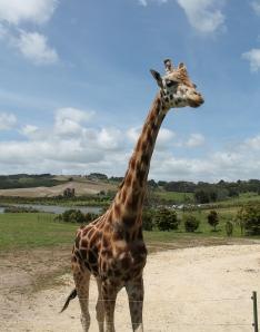 Giraffe - the real McCoy